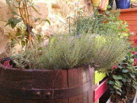 Thyme in wine barrel